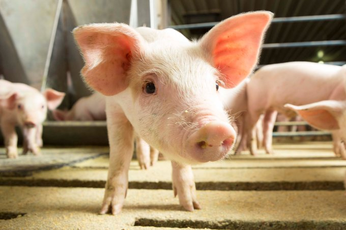 U.S. Pork Producers: Part of the Solution